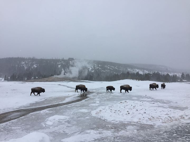 Harmony Travels: Yellowstone In Winter